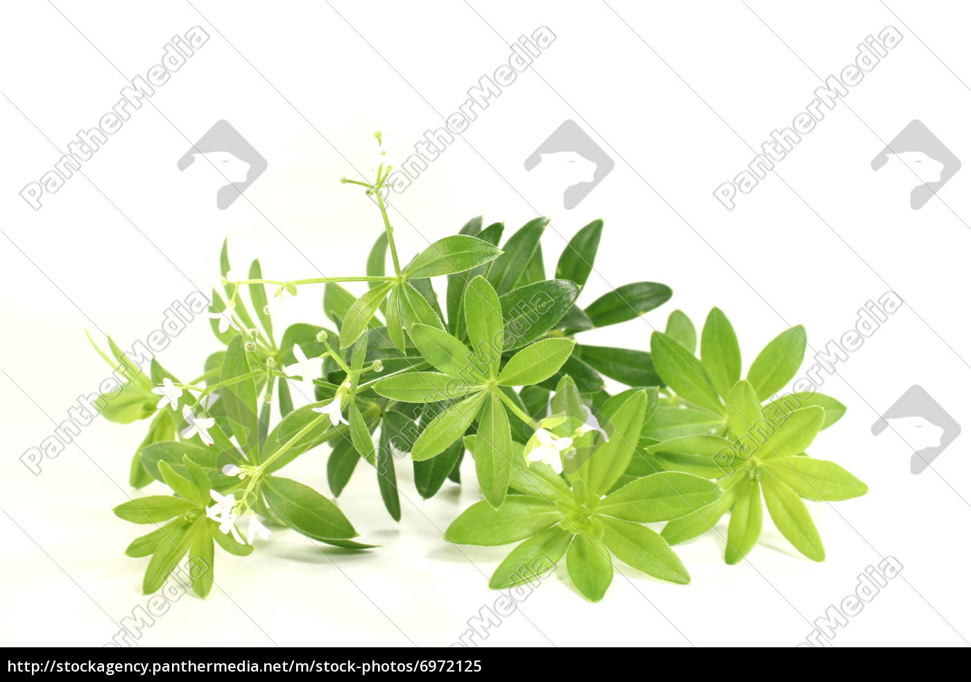 woodruff, with, flowers - 6972125