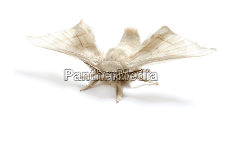 butterfly white of silkworm silk worm