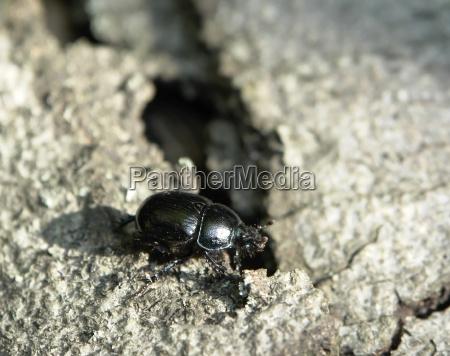black beetle walking on bark