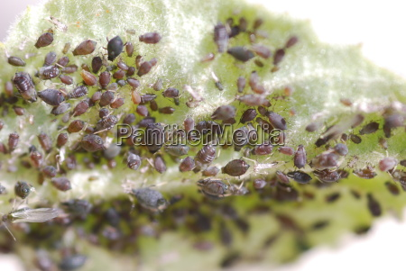 bean aphid aphis fabae pest black