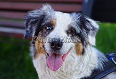 australian shepherd dog looks faithful and