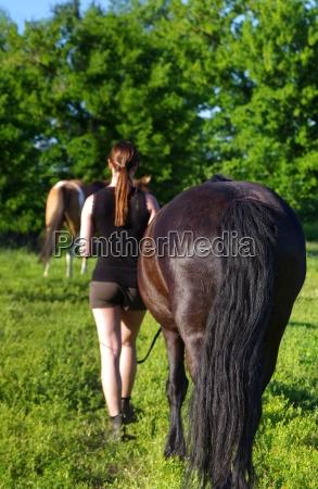 horses friesen in nature