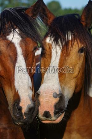 friesen horses in nature