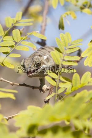 rag chameleon chamaeleo dilepis