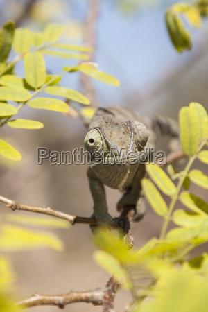 flapper chameleon chamaeleo dilepis