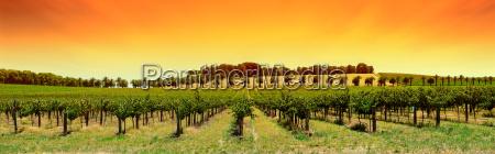 vineyard panorama sunset