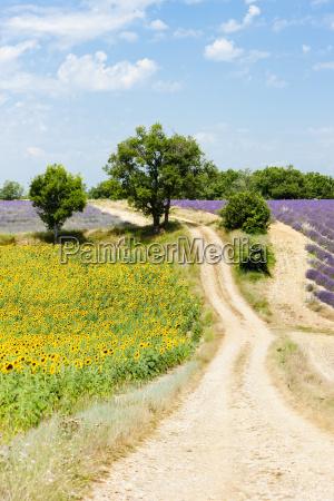 sunflower and lavender fields plateau de