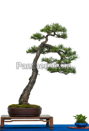 pine as bonsai tree