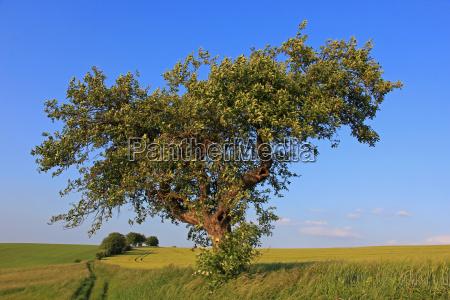 old like a tree