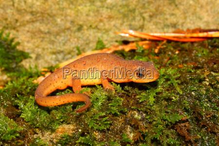 eastern newt notophthalmus viridescens