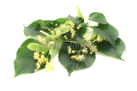 linden flowers with leaves