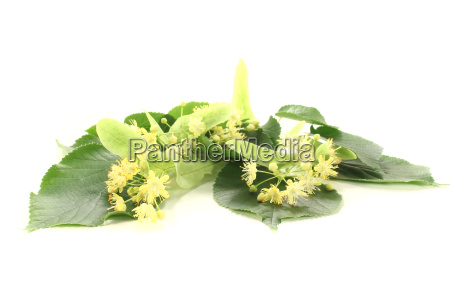 yellow lime blossom