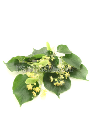 fresh yellow linden flowers