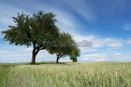 cherry trees in a wheat field