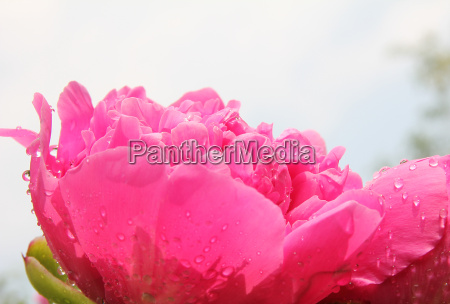 peony in backlight