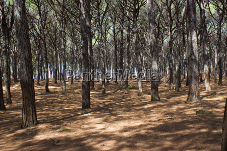 stone pine forest tuscany