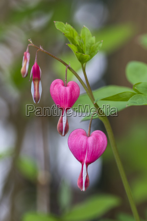 bleeding heart close up