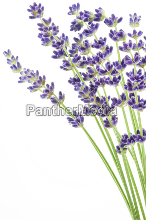 lavender bunch on white background