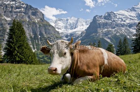 cow in front of the fiescherhoernern