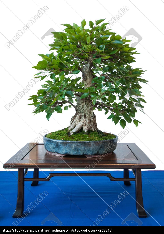 Old Korean Hornbeam As A Bonsai Tree Stock Photo 7268813 Panthermedia Stock Agency