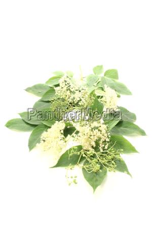 elderflower with leaves
