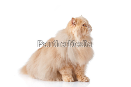 persian cat isolated on white persian