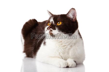 beautiful british cat on white