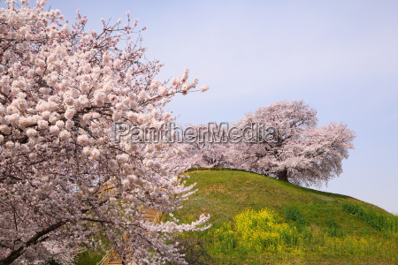 cherry tree on the hill