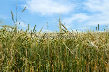 field of organic green grains