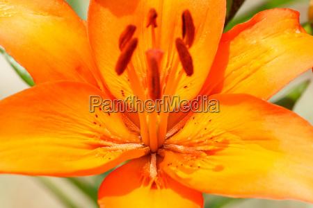 detail of flowering orange lily