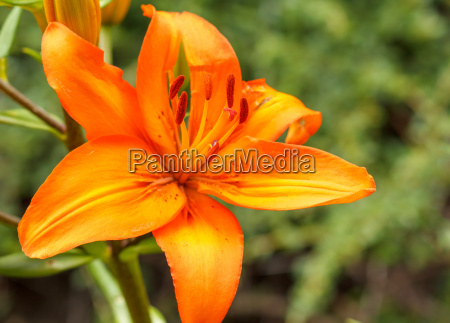 detail of flowering orange lily