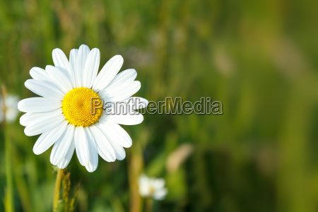 white marguerite flowers