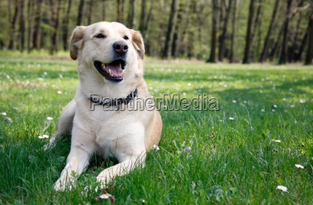 laying labrador