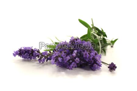 purple lavender flowers and leaves on
