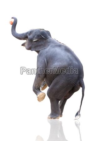 elephant throwing ball