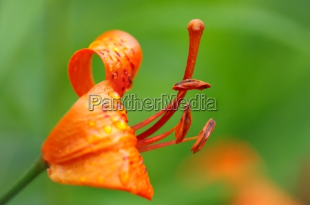 blossom of a lily in detail