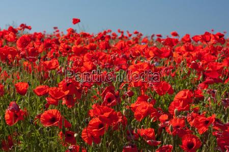 blooming poppy field poppy