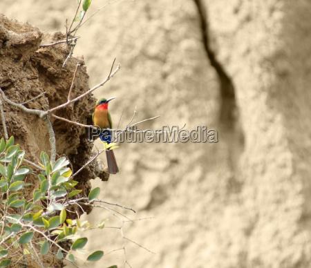 bee eater in uganda