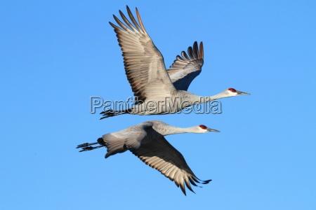 sandhill cranes grus canadensis