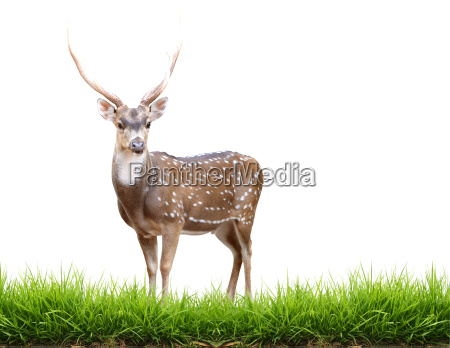 axis deer isolated