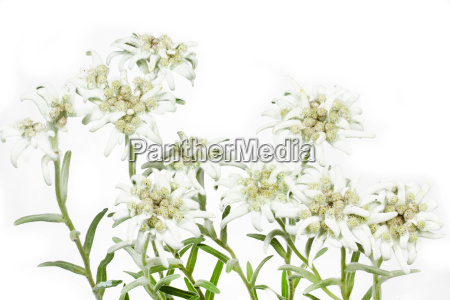 alpine edelweiss leontopodium alpinum