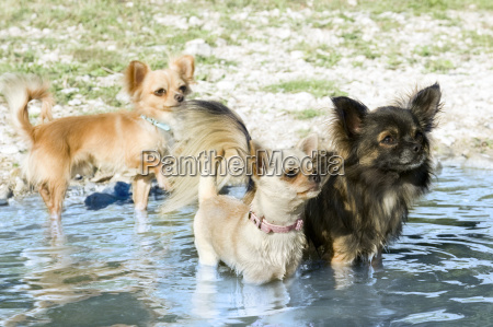 chihuahuas in the river