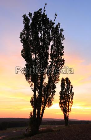 tree sunset evening poplar street road