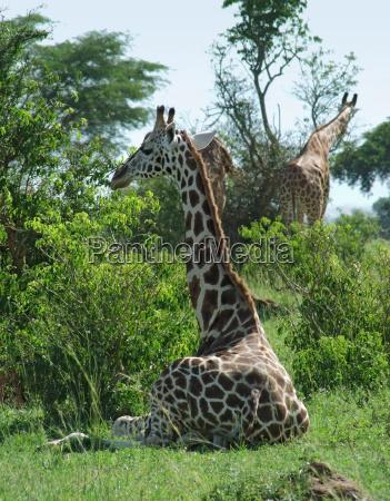 sunny illuminated giraffes in uganda