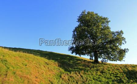 tree summer summerly oak bluer meadow