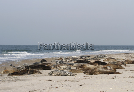 seal colony on the helgoland dune