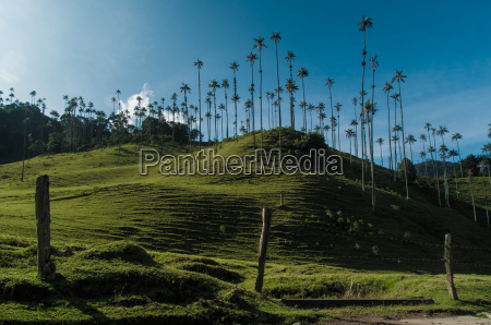 wax palms near salento in colombia