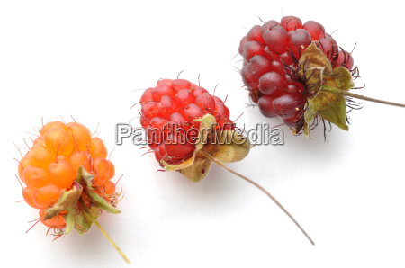 ripe red and orange wild raspberries