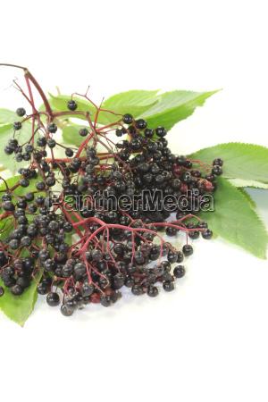 elderberries with green leaves