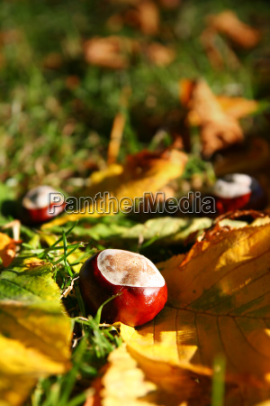 chestnuts on a meadow
